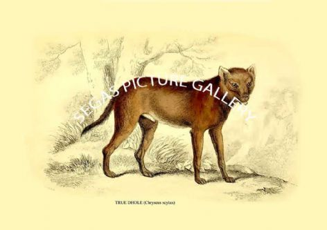 Fine art print of the TRUE DHOLE (Chryseus scylax)  by Sir William Jardine (1839-40)